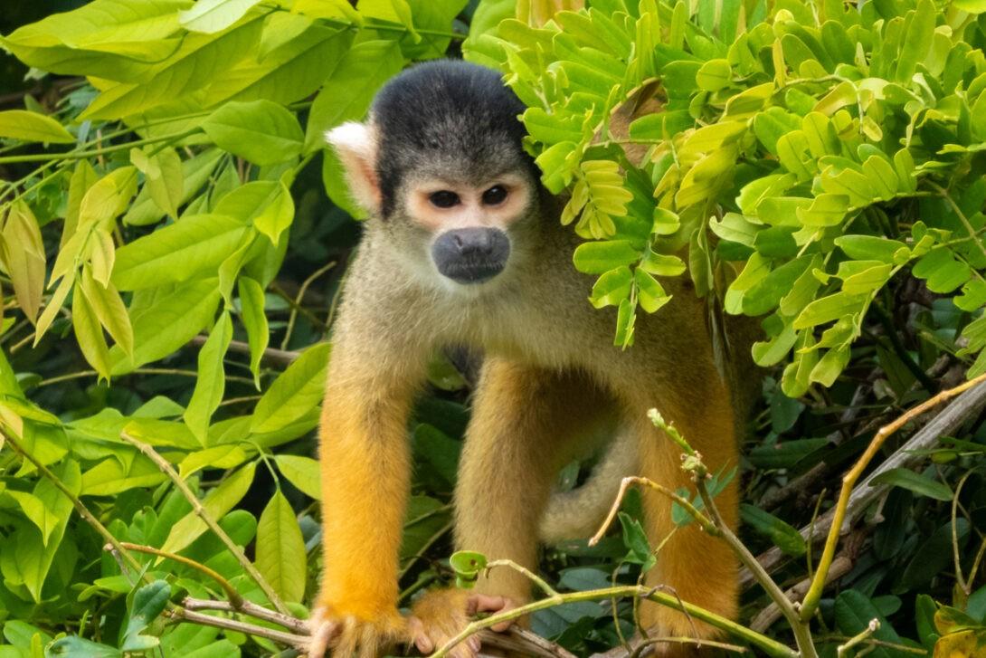 Monkey in Amazon
